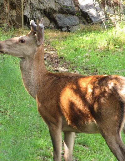 Un cervo nel Parco del Pollino