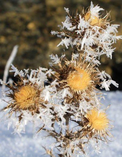 Una pianta coperta da neve e ghiaccio sul Pollino