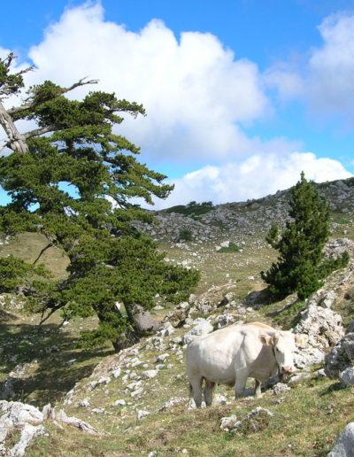 Una mucca si gode il suo pascolo nei pressi di alcuni pini loricati