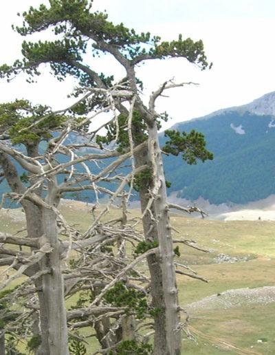Pini loricati con monti sullo sfondo